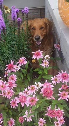 """Pink Double Delight Coneflower and Liatris are Providing Shade for Our Golden Retriever """"Buster"""""""