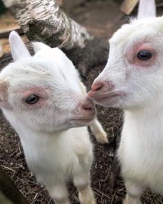 """SIV.HEIDI på Instagram: """"Awww!😍 Cutest babygoat alert😁  A few pictures from the most adoreable farm iv'e seen so far.   They make famous goat cheese, and there…"""" Goat Cheese, Goats, Instagram Posts, Cute, Pictures, Animals, Photos, Animales, Animaux"""