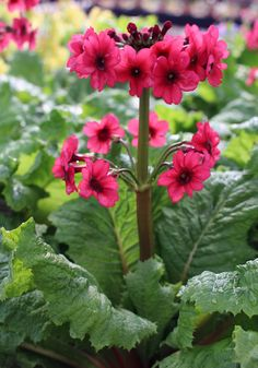 This is the perfect perennial for a damp, shady spot in the garden. The candelabra style flowers are fragrant and put on their color show in mid-spring. (Primula japonica 'Miller's Crimson')