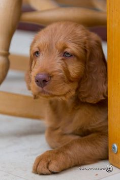Long haired vizsla puppy... Be still my heart...