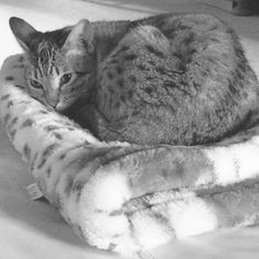 Georgie the Asian snow spotted bengal, 2 years old
