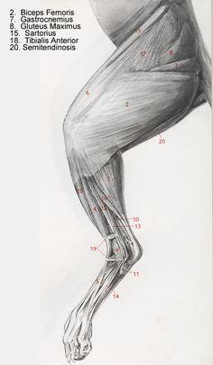 Anterior leg