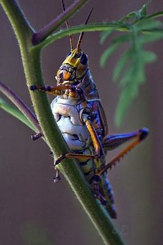 Insect - Lubber Grasshopper