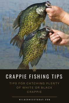 Want to catch double what you normally do on your next crappie fishing outing? Check out our monster crappie fishing guide! Want to catch double what you normally do on your next crappie fishing outing? Check out our monster crappie fishing guide! Fishing Girls, Gone Fishing, Fishing Bait, Best Fishing, Saltwater Fishing, Fishing Tackle, Fishing Storage, Boat Storage, Crappie Fishing Tips