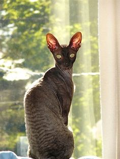 Cornish Rex    Origin: Great Britain  Colors: Any  Size: Small to medium  Weight (females): 5-7 lbs (2.3-3.2 kg)  Coat Type(s): Shorthair, curly-haired  Grooming: Little  Talkativeness: Quiet  Activity Level: Very high  Attention Requirement: High  Overall: Can be a handful