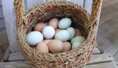 Display a rainbow of eggs on your kitchen counter or farmers' market booth by keeping one of these colorful-egg-laying chickens.