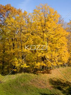large yellow trees - Large yellow trees on a hillside in Ontario