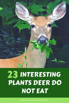 Are you trying to keep deer out of your garden? I have 13 tips on how to do that. From recommending fences, to deer resistant plants and flowers, to using garden ornaments, I am determined to help you keep your vegetables safe! Deer Resistant Shade Plants, Deer Proof Plants, Deer Resistant Flowers, Deer Resistant Garden, Deer Resistant Perennials, Plants That Repel Deer, Deer Resistant Landscaping, Landscaping Plants, Landscaping Ideas