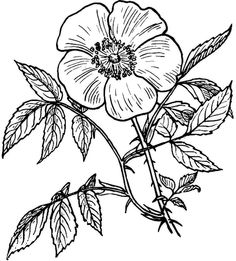 Eglantine Rose Black White Line Art Coloring Book - Day Of The Dead Flower Drawing Clipart Rose Coloring Pages, Pattern Coloring Pages, Coloring Pages For Kids, Coloring Books, Coloring Sheets, Free Coloring, Colouring, Flower Line Drawings, Art Drawings