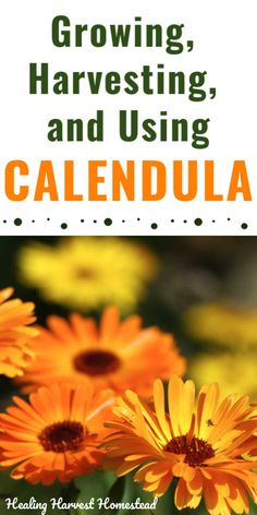 Of all the medicinal herbs you could choose to grow in your healing or culinary garden, calendula is a winner. It's easy to grow, harvest, and use dried too. Here's a complete guide to growing, harvesting, and using calendula in your yard and garden. #calendula #flower #growing #harvesting #flowerbenefits #uses #tea #healingharvesthomestead Calendula, Herbal Tinctures, Herbalism, Organic Gardening, Gardening Tips, Flower Gardening, Herbs For Health, Backyard Vegetable Gardens, Real Plants