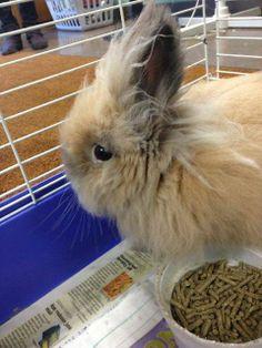 #MICHIGAN #URGENT ~ Bigfoot is an Angora Bunny Rabbit (( Bigfoot's video on YouTube http://youtu.be/zMVqVVnIXpQ ))  in need of a loving #adopter / #rescue at  CHIPPEWA COUNTY ANIMAL SHELTER 3660 S Mackinac Trl #SaultSteMarie Michigan 49783  ccanimalshelter@att.net Ph 906-632-2519