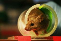Found: The Part Of The Mouse Brain That Motivates Exercise   Popular Science