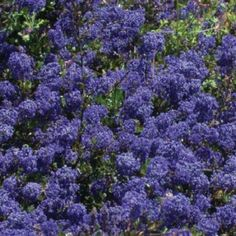 ceanothus 39 blue sapphire miss this from my old garden. Black Bedroom Furniture Sets. Home Design Ideas