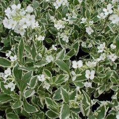 Gascarita Arabis caucasica Variegata - RoyalPlant.ro Ground Cover Plants, Slug, Image, Snail, Ground Covering Plants