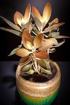Kalanchoe-Orgyalis-copper-spoons-spoon-rare-succulent-exotic-plant-seed-15-SEEDS