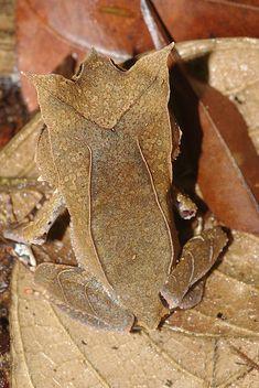 Malayan horned frog (Megophrys nasuta)   Flickr - Photo Sharing!
