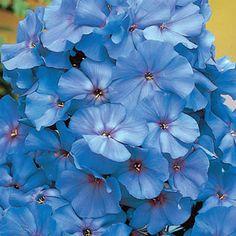 Flower Gardening For Beginners Blue Boy Hybrid Tall Phlox.planted on the side yard. Tall Phlox, Phlox Plant, Small Backyard Landscaping, Backyard Patio, Landscaping Ideas, Blue Plants, Climbing Roses, Plant Nursery, Annual Plants