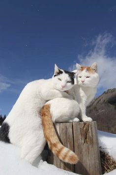 """Look at the Turkish Van."""" TURKISH VAN: """" Noes, Nikki, weez go to where I live and getz thru a window to go in de house and warm up. Pretty Cats, Beautiful Cats, Animals Beautiful, Happy Animals, Cute Animals, Turkish Van Cats, Gatos Cats, Domestic Cat, Cat Breeds"""