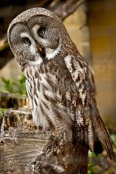 Olmense Zoo by David Van Bael Owl Photos, Owl Pictures, Owl Bird, Pet Birds, Animals And Pets, Cute Animals, Strix Nebulosa, Nocturnal Birds, Great Grey Owl