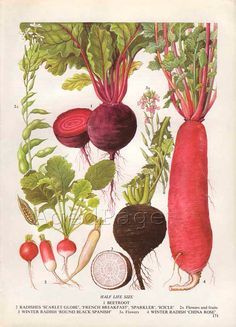 Vintage Root Vegetable Botanical Print, Food Plant Chart, Art Illustration, Wall Decor, Radishes
