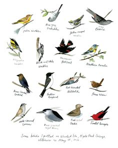 """By the marvelous Diana Sudyka, this is a print """"made from the original watercolor of birds spotted on a spring day in Wooded Isle Park, in Hyde Park, Illinois"""""""