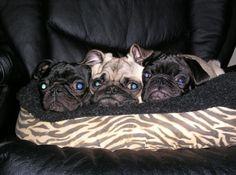 Oreo pugs!