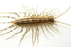 size: Photographic Print: A House Centipede, Scutigera Coleoptrata, from the Wild. by Joel Sartore : Foot Of Bed, Bed Feet, Your Spirit Animal, Digital Technology, Professional Photographer, Find Art, Framed Artwork, Pure Products, Animals