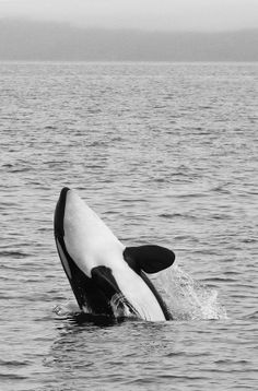"""Orca #japan #hokkaido #shiretoko - yes use a Japanese local as bait! put him on a hook and throw him out to sea, lets see how he likes it? if he survives perhaps he can tell everyone what a frighten experience that was and he can plead for mercy and beg for his life unlike these creatures that HAVE NO VOICE TO SAY """"PLEASE SIR DONT!""""!!!!!!!!!"""