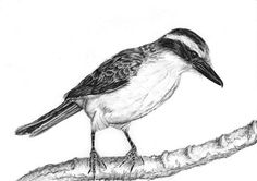 Bem-te-vi-bird-pencil-drawing.jpg (540×380)