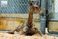 Seattles Woodland Park Zoo announces birth of baby giraffe! So cute! Cute Tiger Cubs, Cute Tigers, Woodland Park Zoo, Cute Baby Animals, Giraffe, Behind The Scenes, Cute Babies, Seattle, Birth