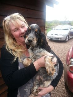 www.pets4homes.co.uk images classifieds 2014 04 16 608140 large blue-roan-and-tan-cocker-spaniel-lovely-bul-534e9730a3d3e.jpg