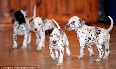 I want a Dalmatian!:)