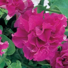 Photo of Petunia Double Cascade Pink F1 Pelleted, Double Cascade Series F1