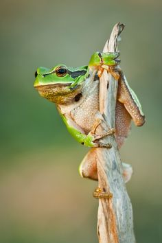 Hyla arborea by Łukasz Jabłoński Green Animals, Nature Animals, Farm Animals, Pet Frogs, Fox Images, Funny Frogs, Frog And Toad, Cute Little Animals, Lizards
