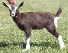 This is an Alphine mix goat.