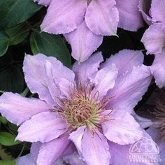 Clematis Filigree™ Zone: 4-9 Ultra compact miniature clematis standing only 30cm (12″) tall and bearing masses of large, silvery-blue to pale lilac flowers, spring through early fall. Perfect for containers, even hanging baskets and allowed to meander through the garden. Superior disease resistance and tolerance to summer heat. From the Flora Collection® (Miniature Clematis). Pruning Group 3.