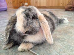 Harlequin Rabbit toys 15 of the Best Pet Rabbit Breeds Indoor Rabbit Cage, Rabbit Cages, Rabbit Toys, Pet Rabbit, Rabbit Hutch Indoor, Mini Lop Rabbit, Rabbit Farm, Pet Bunny Rabbits, Pet Chickens