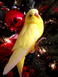 http://cooperscorner.info/wp-content/uploads/2016/12/christmasbudgiedragon-spheredeviant.jpg