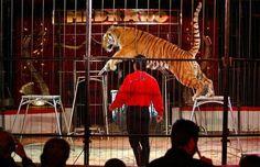 Los animalistas descartan que el circo pueda garantizar el bienestar a las bestias