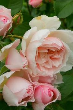 The Generous Gardener, David Austin. Un arbuste haut, généreux et élégant, au port souple avec un joli feuillage luisant. Les fleurs, d'un délicat et charmant coloris rose tendre, sont doubles et parfumées. Avec sa bonne remontée de floraison et sa bonne résistance aux maladies, cette variété sera une des valeurs sûres de votre jardin.