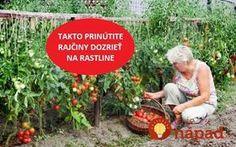 """Neveril by som, že tento starý trik funguje, ale mám odskúšané: Keď rajčiny nebudú chcieť dozrievať, spravte rastline """"menší šok"""" a dozrejú do poslednej!"""