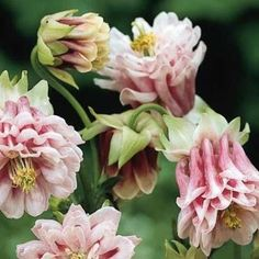 Aquilegia vulgaris 'Tower Light Pink' - Akeleje, farve: rosa/æblegrøn, lysforhold: sol/halvskygge, højde: 45 cm, blomstring: maj - juni.