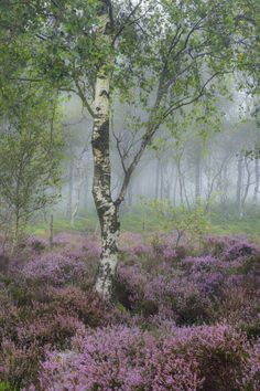 It's heather season in the Northern hemisphere and those areas blessed with this glorious plant are being presented with one of the wonders of nature. Beautiful World, Beautiful Places, Beautiful Pictures, Nature Aesthetic, Exterior, Gras, Plantation, Fantasy Landscape, Belleza Natural