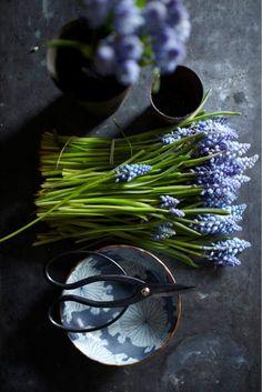 ....grape hyacinth
