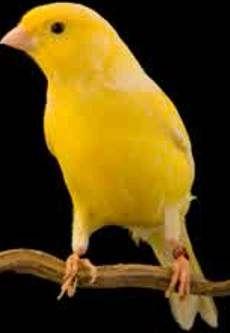 Suara Burung Gacor