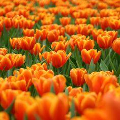 primal Dutch orange tulips