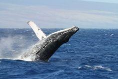 Whale-Watching-Near-Kihei-Maui-Hawaii