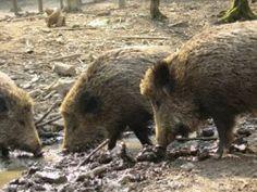Gawęda jak nasze psy i koty: Noc w lesie (Opowieść Dziadka Franciszka) Google, Pigs, Savages, Animales, Literatura