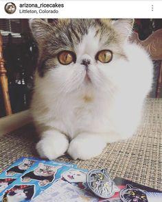 @arizona_ricecakes got their stickers and lapel pins. Who else got them?  #exoticshorthair #cat #cute #flatface #meow #mreggs #catlover  #exoticsofinstagram #smushface