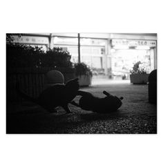 Chibi and Kuro March 2015 #cat #blackandwhitephotography